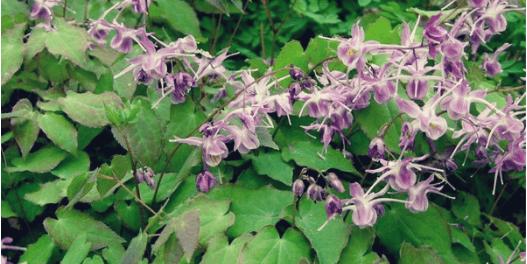 Horny goat weed (Epimedium)