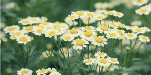 chamomile care your skin